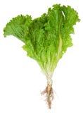 Kopfsalat mit Wurzel Stockfotografie