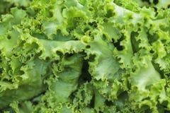 Kopfsalat nahes up1 Stockfoto