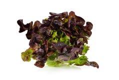 Kopfsalat oder rotes Eicheblatt auf Weiß Lizenzfreie Stockfotos