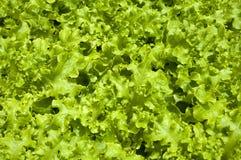 Kopfsalat, organisches, gesundes Lebensmittel Lizenzfreie Stockbilder