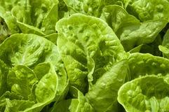 Kopfsalat, organisches, gesundes Lebensmittel Stockbild