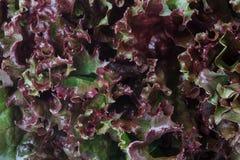 Kopfsalat, rot Stockbild