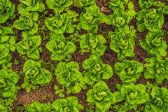 Kopfsalat-Salatplantage, grüne organische Gemüseweide stockfoto
