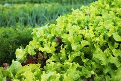 Kopfsalat und anderes Gemüse im Garten Lizenzfreies Stockbild