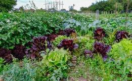 Kopfsalat und Kartoffeln, die im Gemüsegarten wachsen Lizenzfreies Stockbild