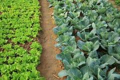 Kopfsalat und Kohl erntet im Wachstum am Gemüsegarten Stockfotografie