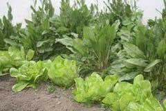 Kopfsalat und Mangold wurden im Yard fotografiert Das Fokusland und ein weniger Salat Stockbild
