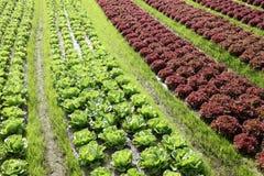 Kopfsalatanlage in einem Ackerland Stockbild