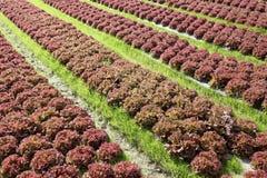 Kopfsalatanlage in einem Ackerland Lizenzfreie Stockfotos