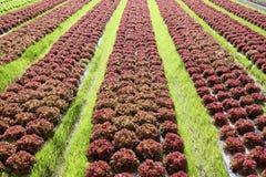 Kopfsalatanlage im Ackerland Lizenzfreies Stockfoto