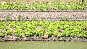 Kopfsalatbauernhof mit Wasser auf Abzugsgraben Stockfoto