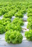 Kopfsalatfelder Stockbild