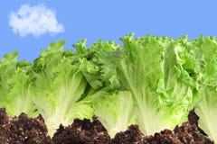 Kopfsalatgarten lizenzfreies stockfoto