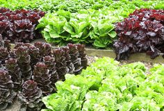 Kopfsalatgarten Stockfotos