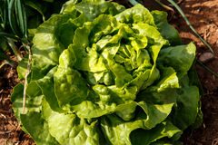 Kopfsalatpflanzengruppe im Garten Stockfotos