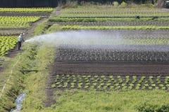 Kopfsalatplantage Lizenzfreies Stockbild