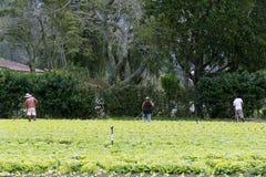 Kopfsalatplantage Lizenzfreie Stockbilder