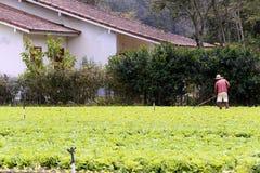 Kopfsalatplantage Stockfotos