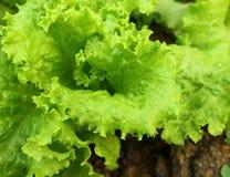Kopfsalatsalat bei der Gartenarbeit Lizenzfreie Stockfotografie