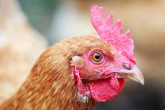 Kopfschuss-Seitenprofil meines Huhns Goldie stockfotos
