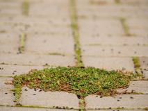 Kopfstein, der Fußweg mit einem Bündel Gras, konkrete Kopfsteine pflastert Beschaffenheit des alten Steinweges Lizenzfreie Stockbilder