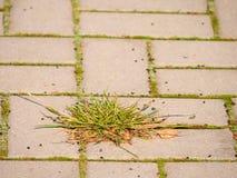 Kopfstein, der Fußweg mit einem Bündel Gras, konkrete Kopfsteine pflastert Beschaffenheit des alten Steinweges Stockfoto
