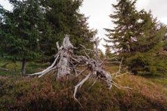 Kopiący za wysuszonym starym drzewo korzeniu zdjęcie stock