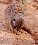 kopiący meerkat Obraz Royalty Free