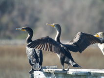 kopia czubata kormoranów fotografia stock