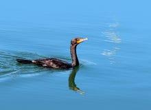 kopia czubata kormoranów Obrazy Stock