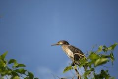 Kopia - czubaty kormoran zdjęcia royalty free
