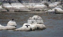 Kopia kormoranu czubaty ptak, Granitowy Dells jezioro Watson obrazy royalty free