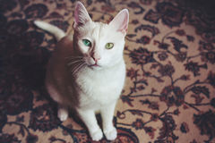 Kopia kota barwiony oko Obrazy Stock