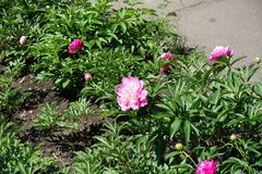 Kopia kwiaty różowe peonie zdjęcia stock