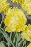Kopia kwitnął żółtego tulipanu obrazy royalty free