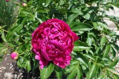 Kopia kwitnąca barwiąca peonia w Maju obraz royalty free