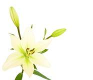 kopia lily przestrzeni white Zdjęcie Royalty Free