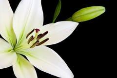 kopia lily przestrzeni white Zdjęcia Royalty Free