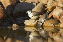 Kopia Ogołacał finches pije przy waterhole fotografia stock