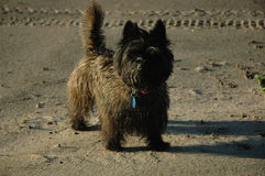 Kopiec Terrier Fotografia Royalty Free