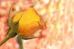 kopiera rose avstånd för orangen Arkivbild