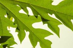 Kopieren Sie Details von schönen Adern auf Papayablatt Stockfotografie