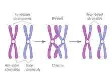 Kopierte übereinstimmende Chromosomen passen und Crossing over zusammen lizenzfreie abbildung
