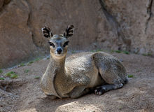 Kopje deer looking at camera Royalty Free Stock Images