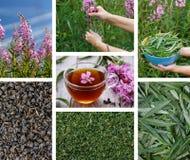 Koporsky tea Blooming Sally royalty free stock image