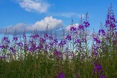 Koporye teblommor och blå himmel med vitmoln som buntar av bomull royaltyfri bild