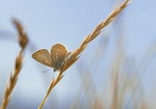 Koppar-fjäril Arkivbild