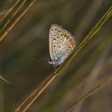 Koppar-fjäril fjärilar arkivfoto