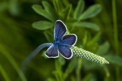 Koppar-fjäril fjärilar royaltyfri fotografi