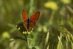 Koppar-fjäril fjärilar royaltyfri foto